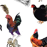 A poster of imaginary breeds of chicken from Ben Frimet